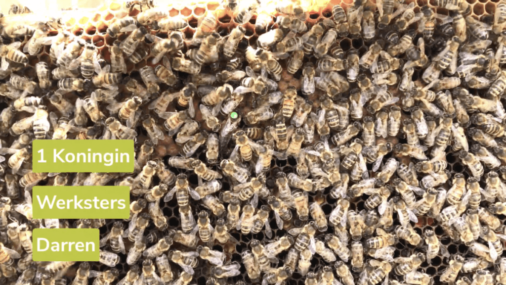 bijenvolk koningin werksters darren