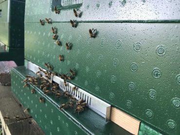 bijen op de vliegplank