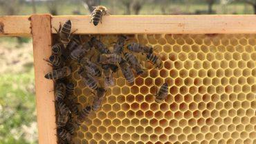 bijen-raat-aan-het-uitbouwen-stuifmeel