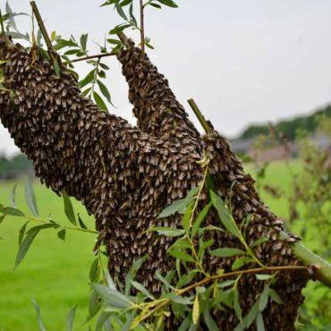 Bijenzwerm op een tak