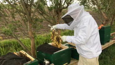 Imker Ben plaatst een raampje broed met bijen in een broedaflegger