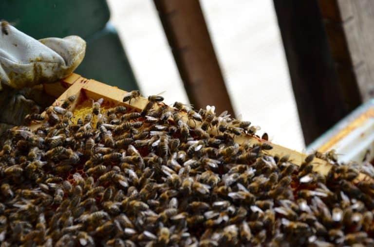 Raatvaste bijen op een broedraam