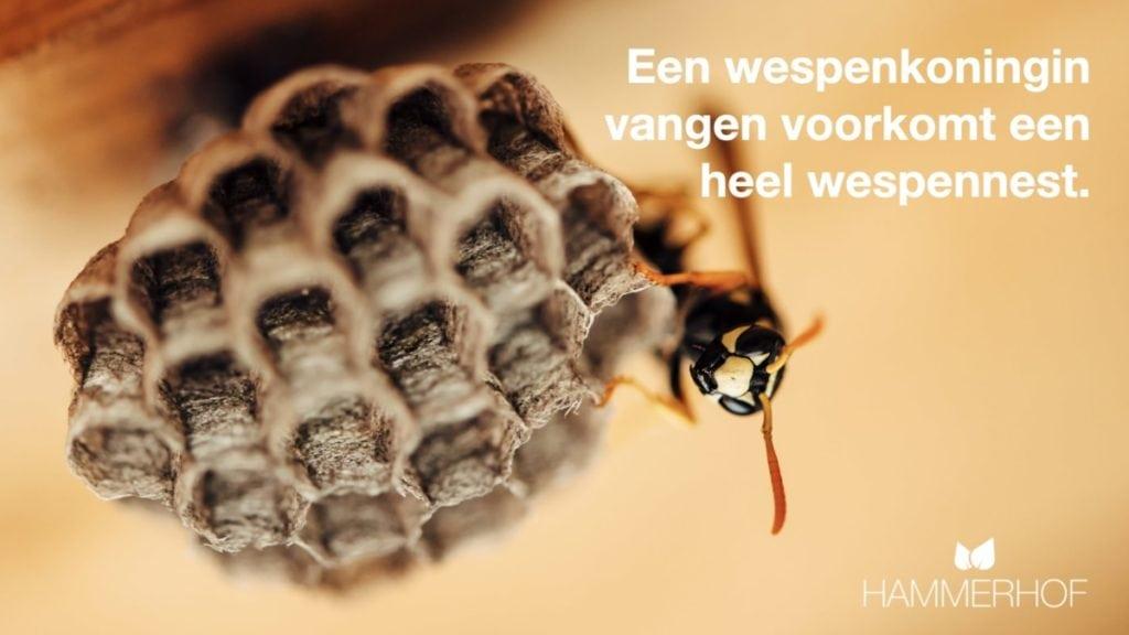 Wespenkoningin op begin van wespennest